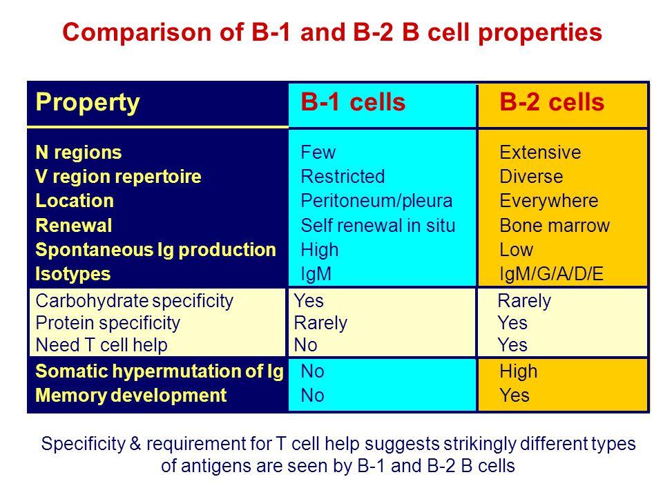 Comparison of B-1 and B-2 B cell properties PropertyB-1 cellsB-2 cells N regionsFewExtensive V region repertoireRestrictedDiverse LocationPeritoneum/p