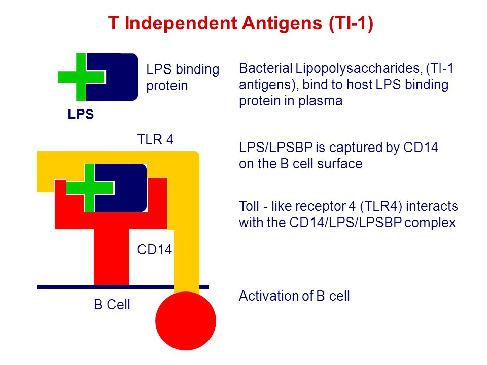 LPS LPS binding protein CD14 B Cell Bacterial Lipopolysaccharides, (TI-1 antigens), bind to host LPS binding protein in plasma LPS/LPSBP is captured b
