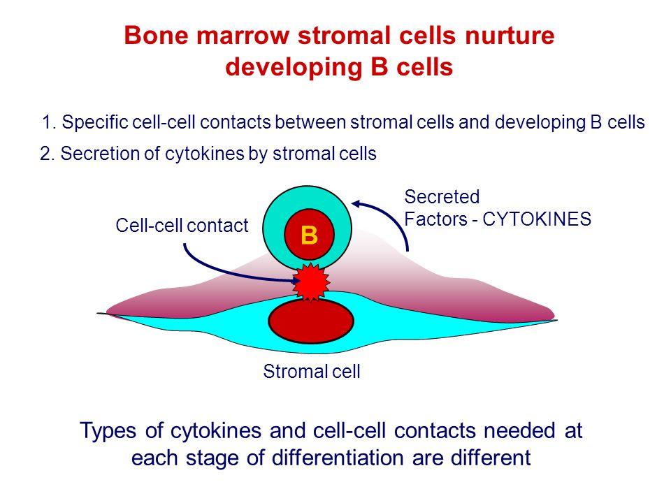 Secreted Factors - CYTOKINES 2. Secretion of cytokines by stromal cells B Bone marrow stromal cells nurture developing B cells Types of cytokines and