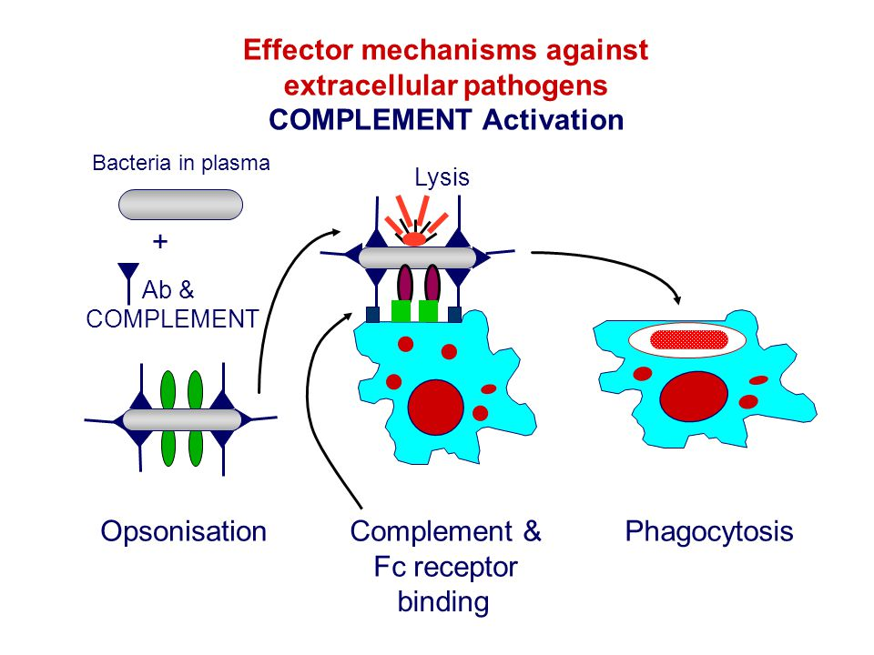 Effector mechanisms against extracellular pathogens COMPLEMENT Activation Bacteria in plasma Ab & COMPLEMENT + Phagocytosis binding Complement & Fc re