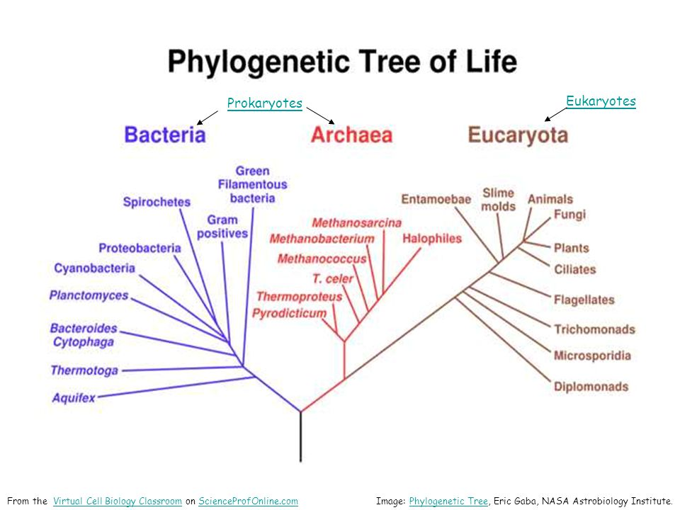 Image: Phylogenetic Tree, Eric Gaba, NASA Astrobiology Institute.Phylogenetic Tree From the Virtual Cell Biology Classroom on ScienceProfOnline.comVir