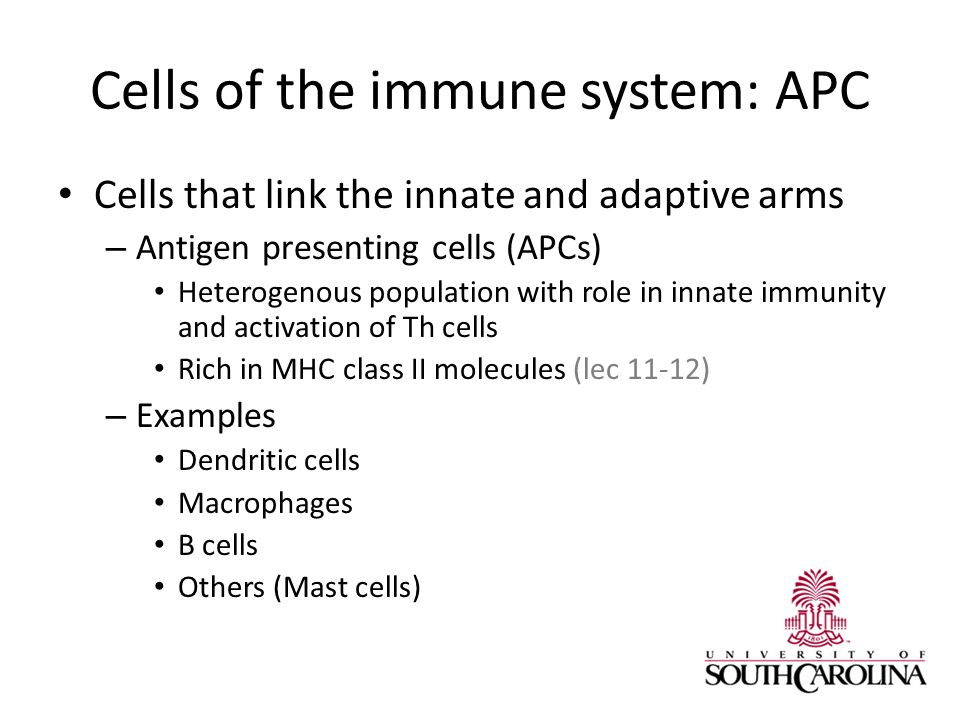 Cells of the immune system: APC Cells that link the innate and adaptive arms – Antigen presenting cells (APCs) Heterogenous population with role in innate immunity and activation of Th cells Rich in MHC class II molecules (lec 11-12) – Examples Dendritic cells Macrophages B cells Others (Mast cells)