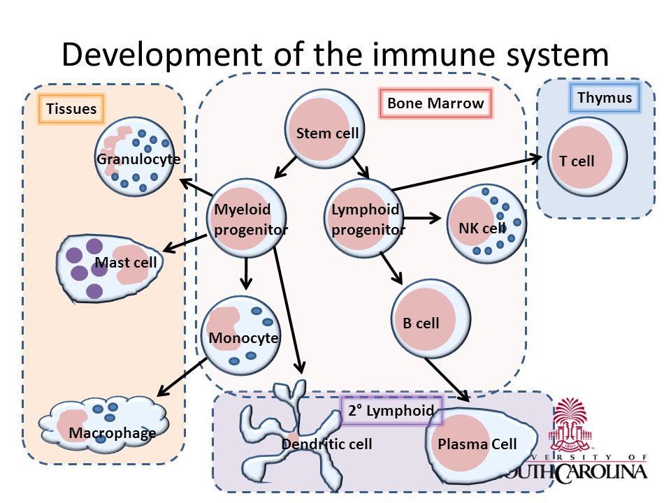 Development of the immune system NK cell Stem cell Macrophage Lymphoid progenitor Myeloid progenitor T cell B cell Plasma Cell Granulocyte Monocyte Mast cell Dendritic cell Bone Marrow Thymus Tissues 2° Lymphoid