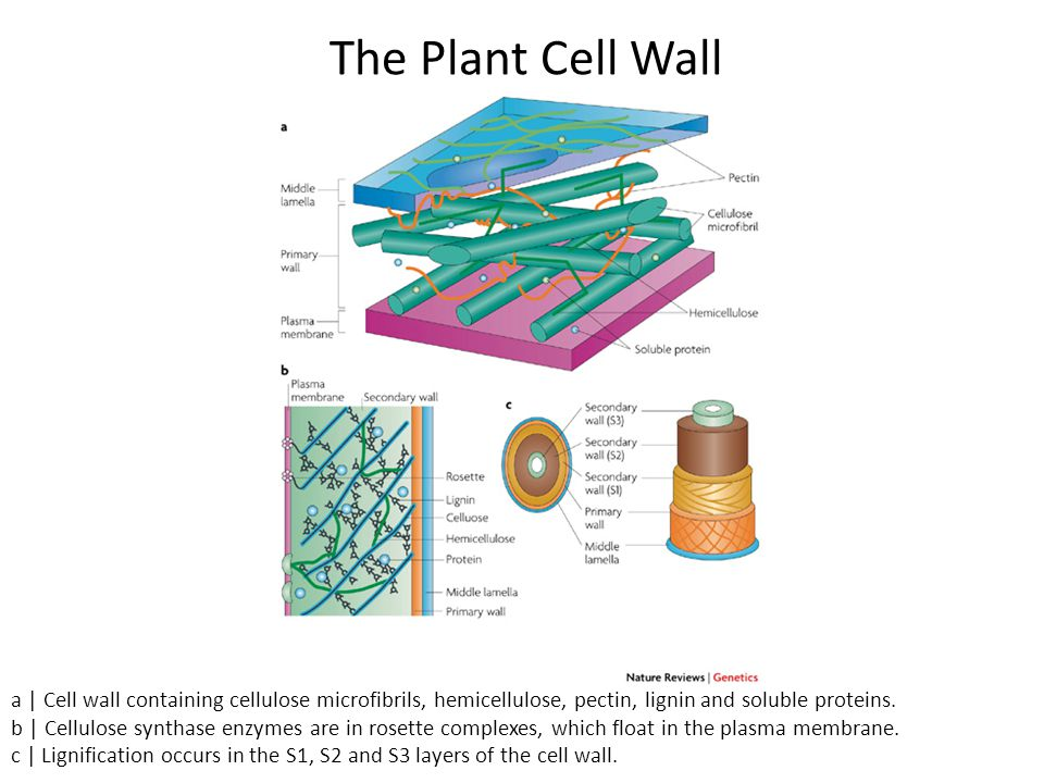 Middle lamella, Primary cell wall and Secondary cell wall