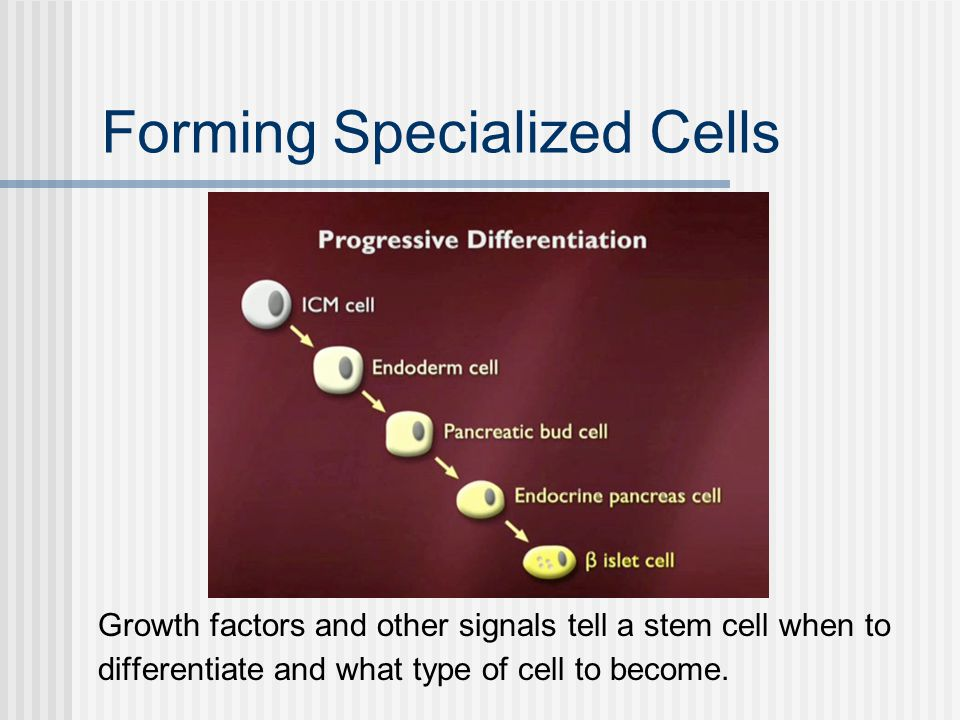 Forming Specialized Cells Growth factors and other signals tell a stem cell when to differentiate and what type of cell to become.