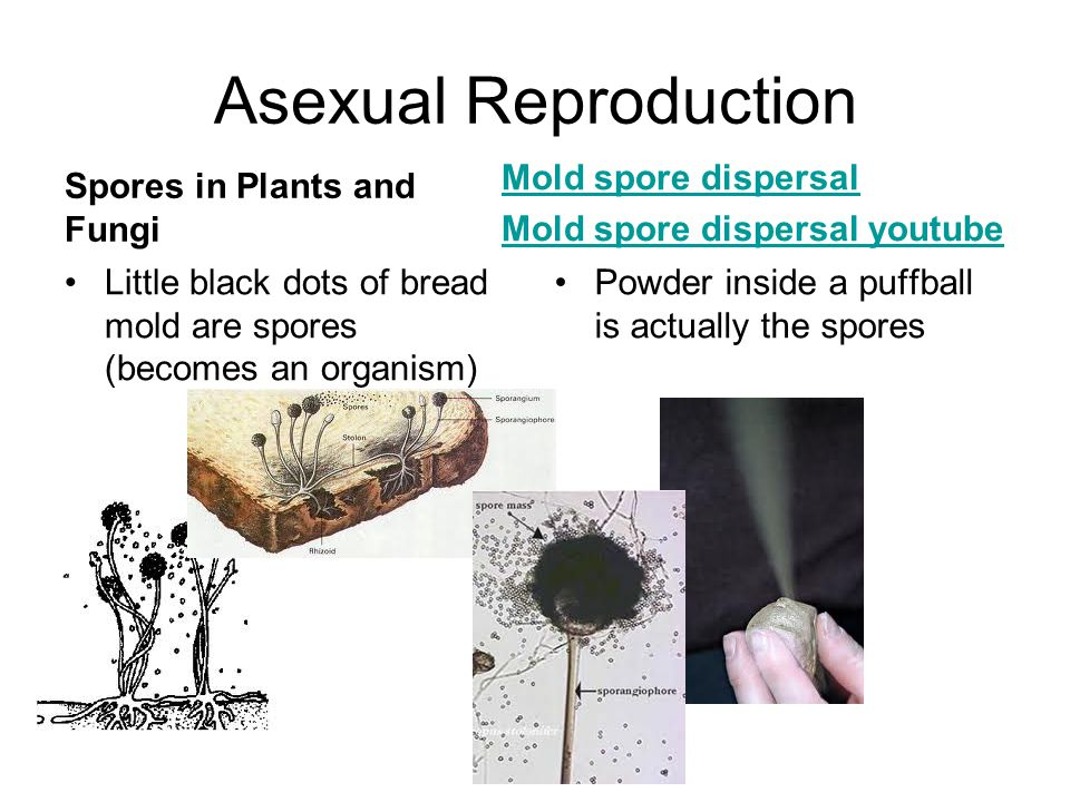 Asexual Reproduction Spores in Plants and Fungi Little black dots of bread mold are spores (becomes an organism) Mold spore dispersal Mold spore dispe