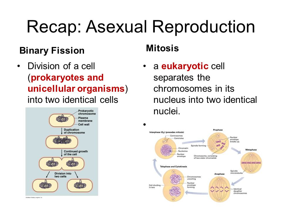 Recap: Asexual Reproduction Binary Fission Division of a cell (prokaryotes and unicellular organisms) into two identical cells Mitosis a eukaryotic ce