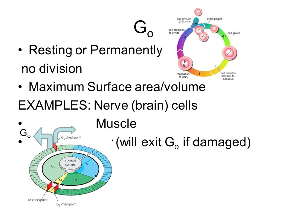 GoGo Resting or Permanently no division Maximum Surface area/volume EXAMPLES: Nerve (brain) cells Muscle OR * Liver (will exit G o if damaged) GoGo