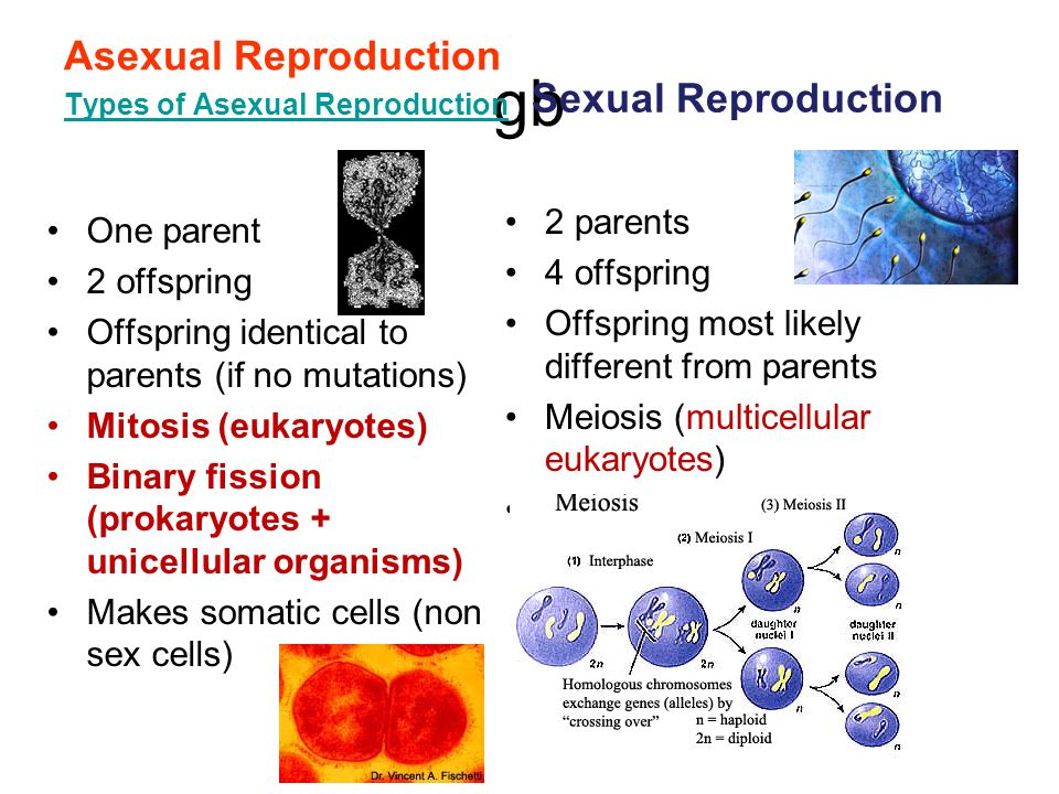 gb Asexual Reproduction Types of Asexual Reproduction One parent 2 offspring Offspring identical to parents (if no mutations) Mitosis (eukaryotes) Bin