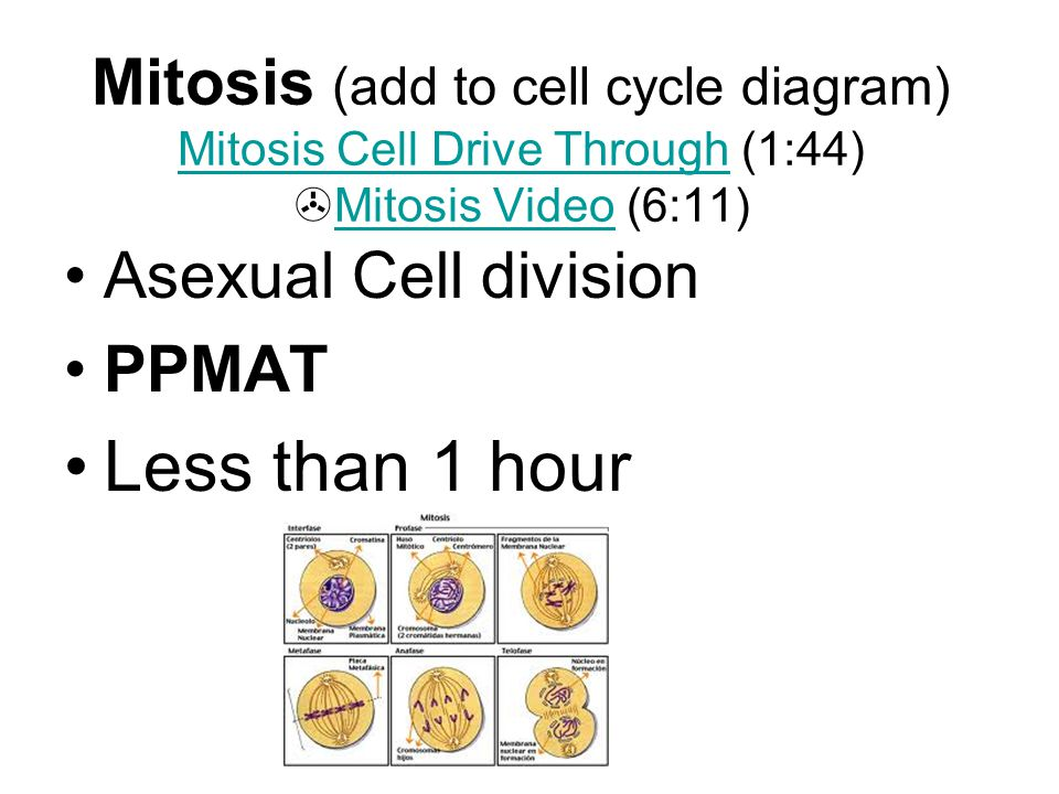 Mitosis (add to cell cycle diagram) Mitosis Cell Drive Through (1:44)  Mitosis Video (6:11) Mitosis Cell Drive Through Mitosis Video Asexual Cell div