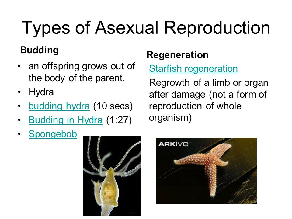 Types of Asexual Reproduction Budding an offspring grows out of the body of the parent. Hydra budding hydra (10 secs)budding hydra Budding in Hydra (1