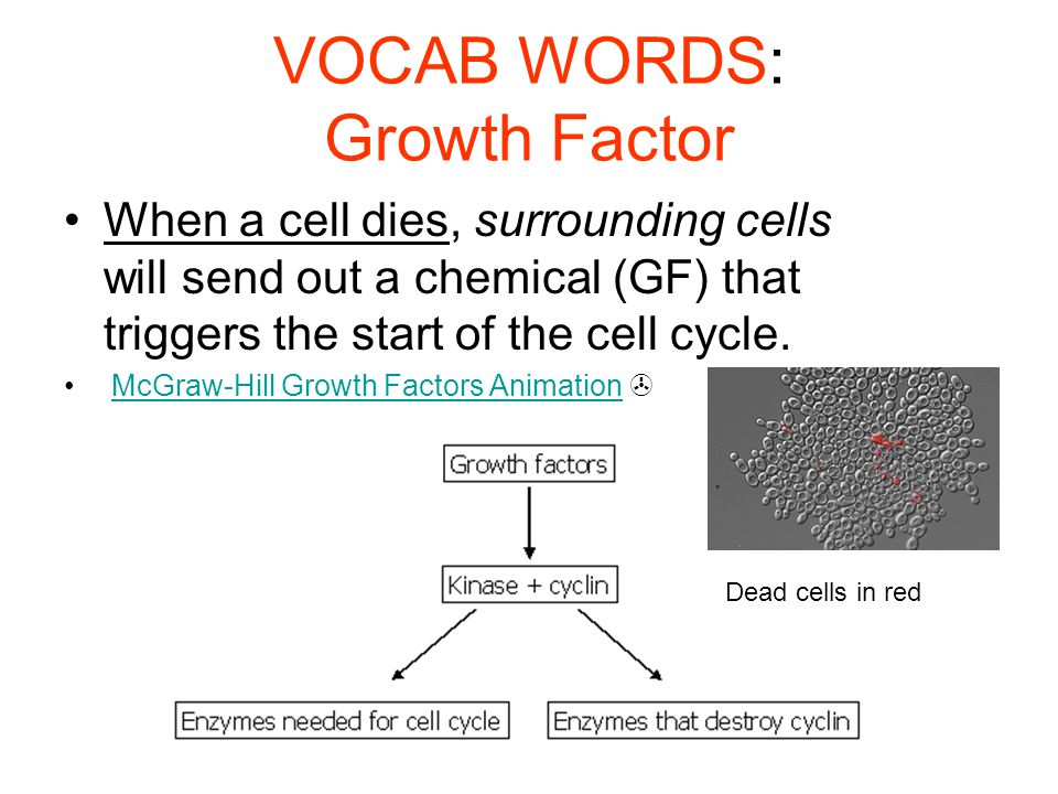 VOCAB WORDS: Growth Factor When a cell dies, surrounding cells will send out a chemical (GF) that triggers the start of the cell cycle. McGraw-Hill Gr