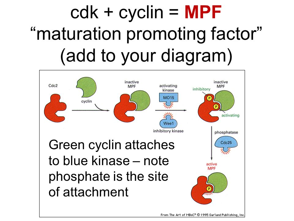 """cdk + cyclin = MPF """"maturation promoting factor"""" (add to your diagram) Green cyclin attaches to blue kinase – note phosphate is the site of attachment"""