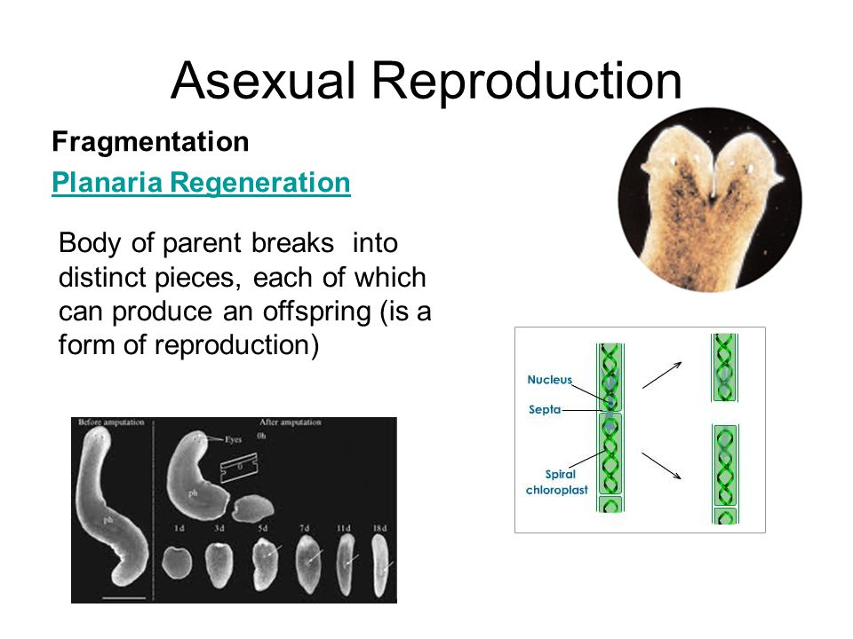 Asexual Reproduction Fragmentation Planaria Regeneration Body of parent breaks into distinct pieces, each of which can produce an offspring (is a form