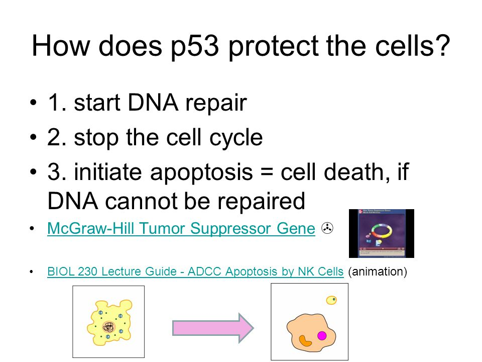 How does p53 protect the cells? 1. start DNA repair 2. stop the cell cycle 3. initiate apoptosis = cell death, if DNA cannot be repaired McGraw-Hill T