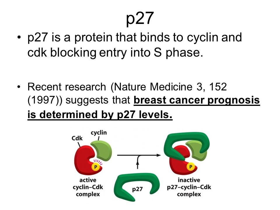 p27 p27 is a protein that binds to cyclin and cdk blocking entry into S phase. Recent research (Nature Medicine 3, 152 (1997)) suggests that breast ca