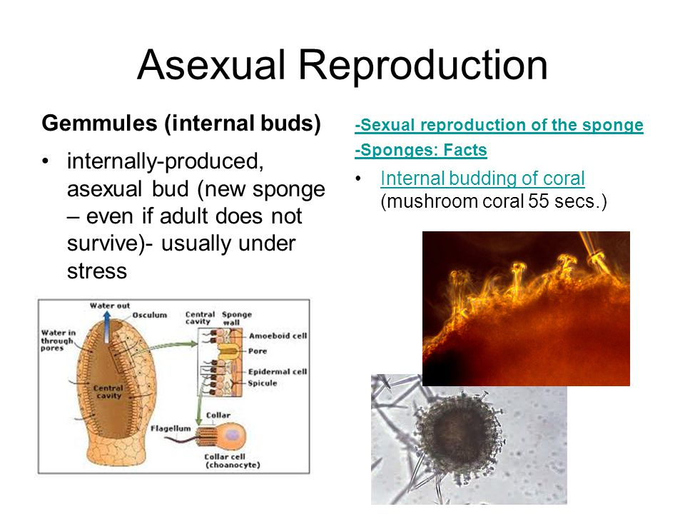 Asexual Reproduction Gemmules (internal buds) internally-produced, asexual bud (new sponge – even if adult does not survive)- usually under stress -Se