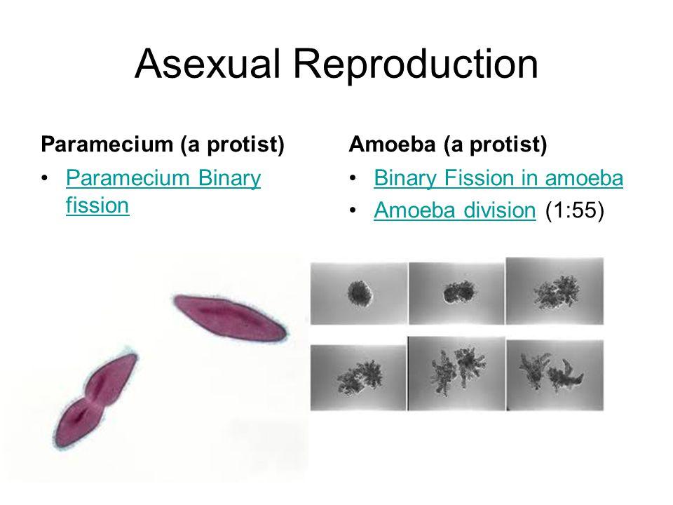 Asexual Reproduction Paramecium (a protist) Paramecium Binary fissionParamecium Binary fission Amoeba (a protist) Binary Fission in amoeba Amoeba divi