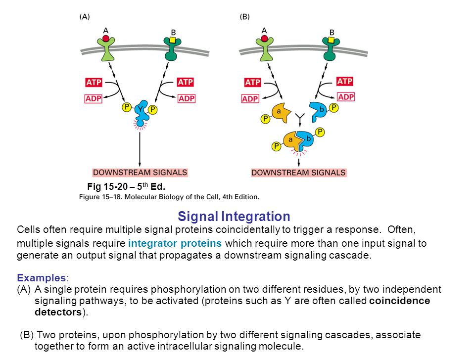 Signal Integration Cells often require multiple signal proteins coincidentally to trigger a response. Often, multiple signals require integrator prote