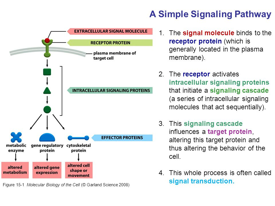 1.The signal molecule binds to the receptor protein (which is generally located in the plasma membrane). 2.The receptor activates intracellular signal