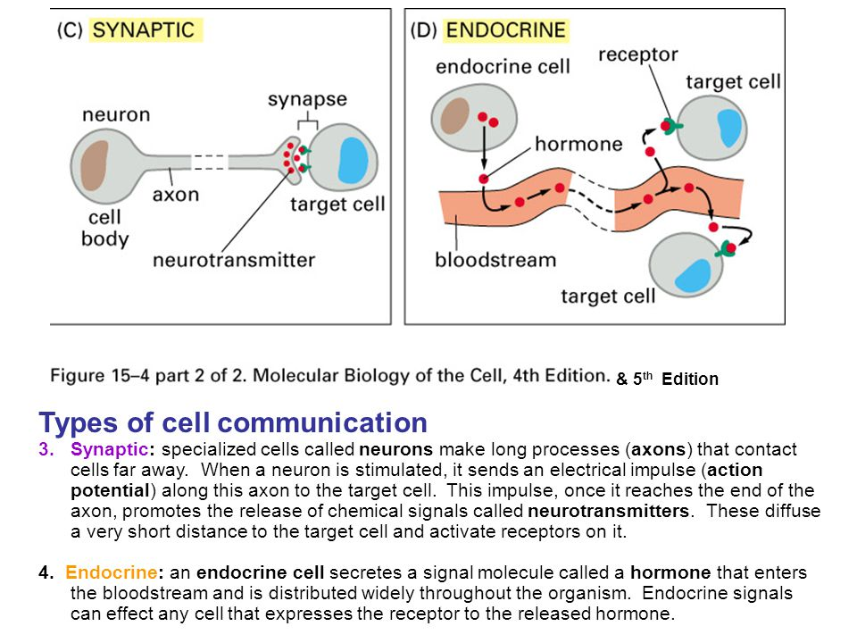 Types of cell communication 3.Synaptic: specialized cells called neurons make long processes (axons) that contact cells far away. When a neuron is sti