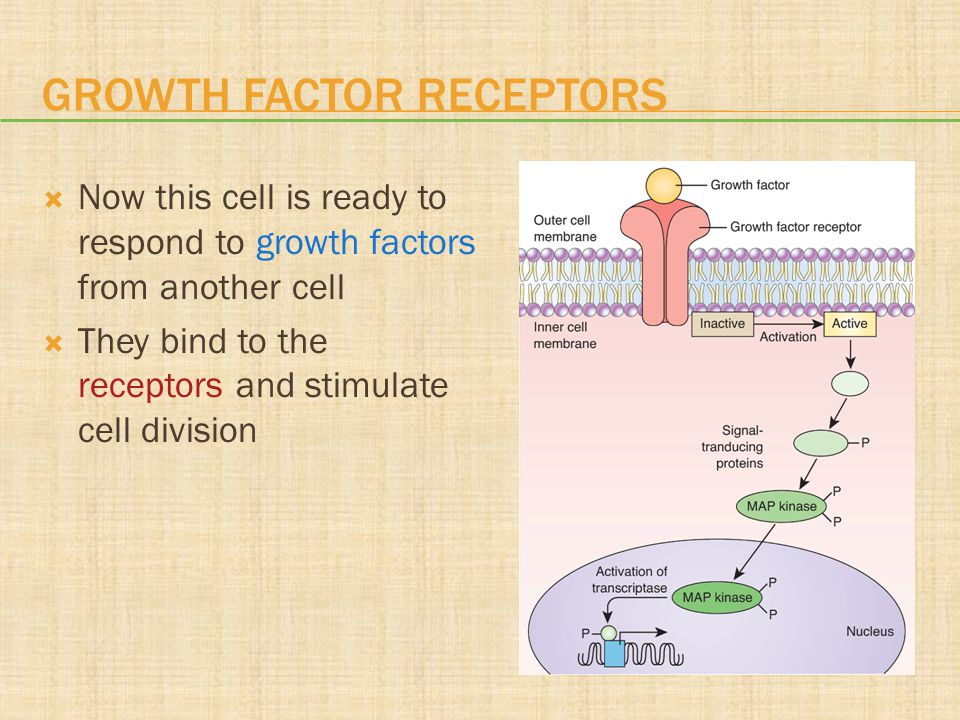 GROWTH FACTOR RECEPTORS  Now this cell is ready to respond to growth factors from another cell  They bind to the receptors and stimulate cell divisi