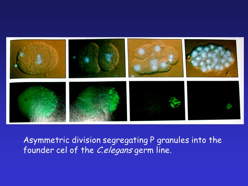 Asymmetric division segregating P granules into the founder cel of the C.elegans germ line.