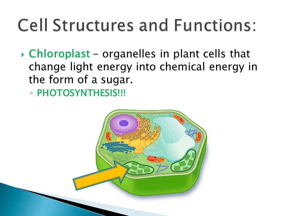  Chloroplast - organelles in plant cells that change light energy into chemical energy in the form of a sugar. ◦ PHOTOSYNTHESIS!!!