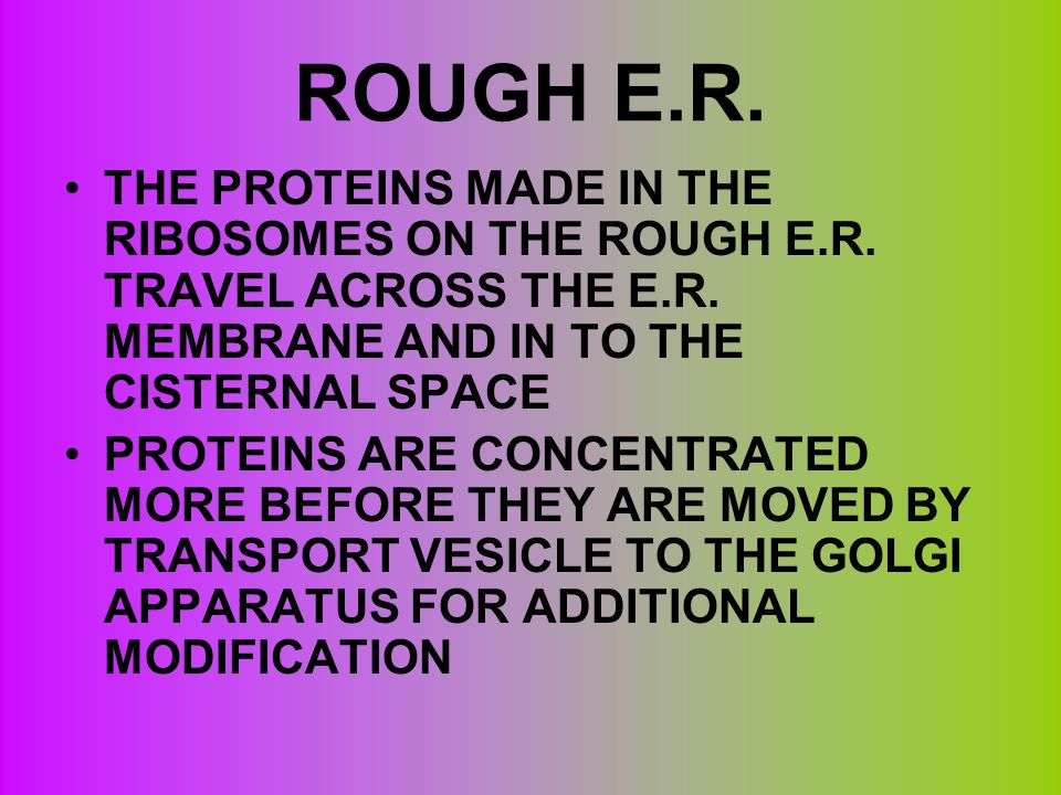 ROUGH E.R. THE PROTEINS MADE IN THE RIBOSOMES ON THE ROUGH E.R. TRAVEL ACROSS THE E.R. MEMBRANE AND IN TO THE CISTERNAL SPACE PROTEINS ARE CONCENTRATE