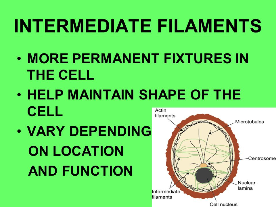 INTERMEDIATE FILAMENTS MORE PERMANENT FIXTURES IN THE CELL HELP MAINTAIN SHAPE OF THE CELL VARY DEPENDING ON LOCATION AND FUNCTION