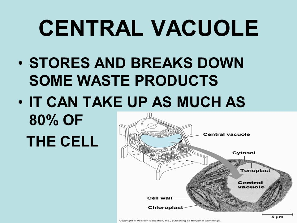 CENTRAL VACUOLE STORES AND BREAKS DOWN SOME WASTE PRODUCTS IT CAN TAKE UP AS MUCH AS 80% OF THE CELL