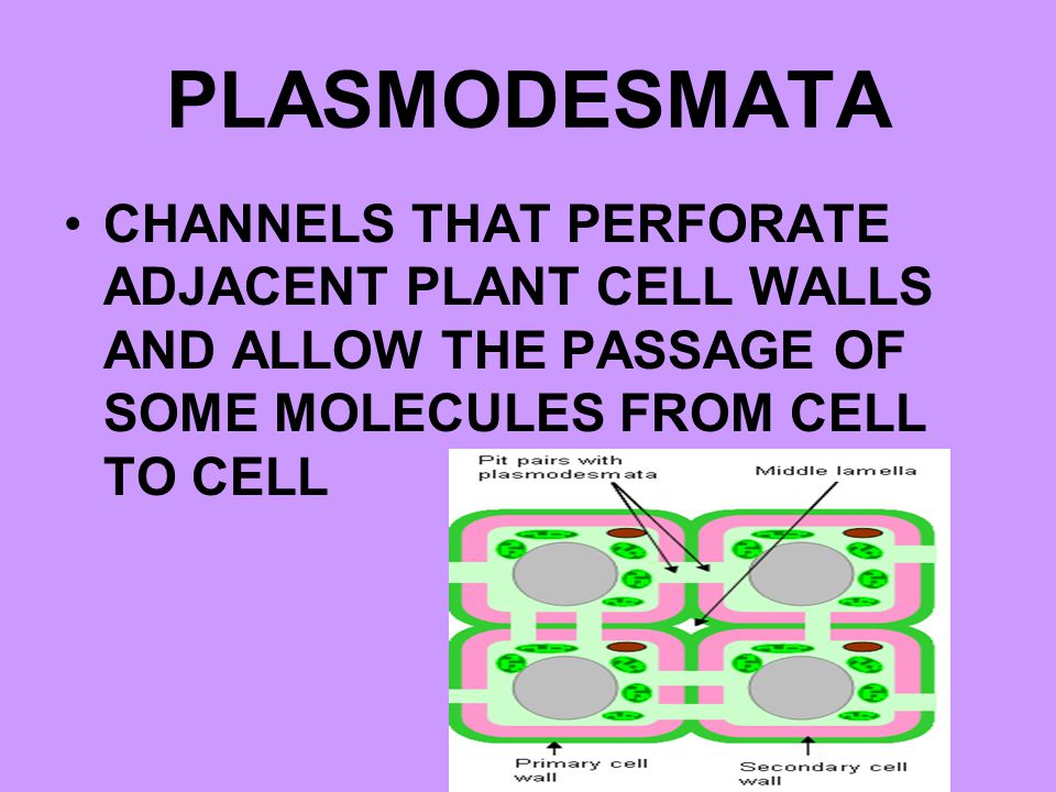 PLASMODESMATA CHANNELS THAT PERFORATE ADJACENT PLANT CELL WALLS AND ALLOW THE PASSAGE OF SOME MOLECULES FROM CELL TO CELL