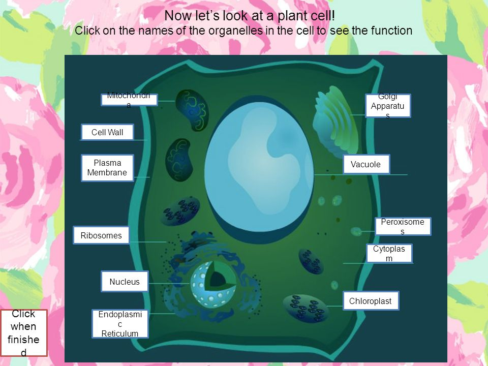 Now let's look at a plant cell! Click on the names of the organelles in the cell to see the function Golgi Apparatu s Vacuole Mitochondri a Cell Wall
