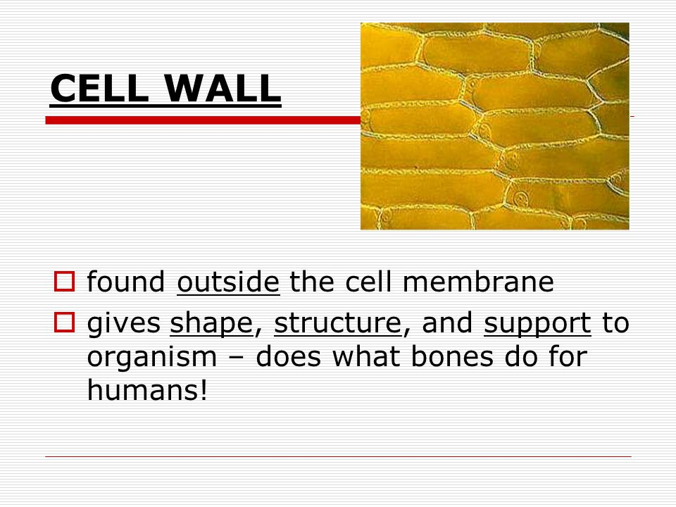 Plant cells have many of the same organelles that an animal cell does…plus a few more _______________________