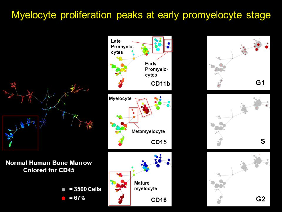 Myelocyte proliferation peaks at early promyelocyte stage Normal Human Bone Marrow Colored for CD45 CD11b CD15 CD16 Early Promyelo- cytes Metamyelocyte Mature myelocyte Late Promyelo- cytes Myelocyte = 3500 Cells = 67% S G2 G1