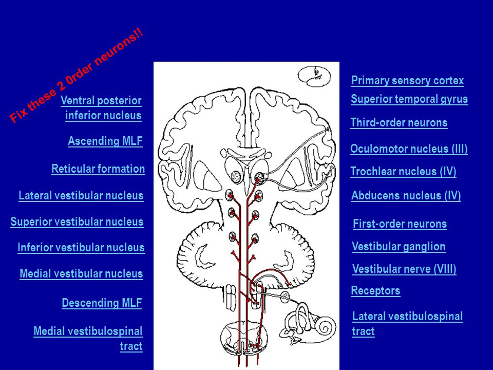 Primary sensory cortex Superior temporal gyrus Third-order neurons Oculomotor nucleus (III) Trochlear nucleus (IV) Abducens nucleus (IV) Lateral vestibulospinal tract Receptors Vestibular nerve (VIII) Vestibular ganglion First-order neurons Medial vestibulospinal tract Descending MLF Medial vestibular nucleus Inferior vestibular nucleus Superior vestibular nucleus Lateral vestibular nucleus Reticular formation Ascending MLF Ventral posterior inferior nucleus Fix these 2 0rder neurons!!