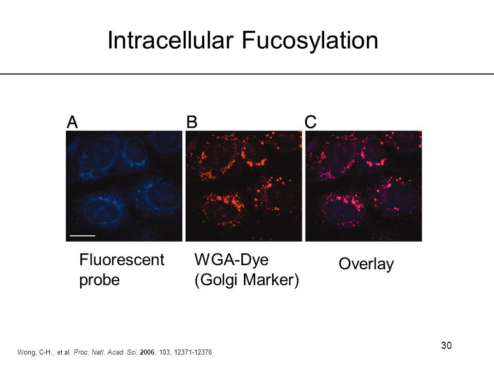 30 Intracellular Fucosylation Fluorescent probe WGA-Dye (Golgi Marker) Overlay Wong, C-H., et al. Proc. Natl. Acad. Sci. 2006, 103, 12371-12376