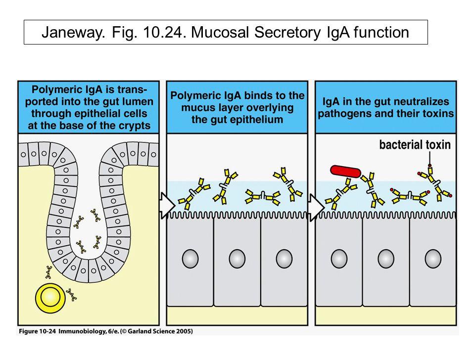 Janeway. Fig. 10.24. Mucosal Secretory IgA function