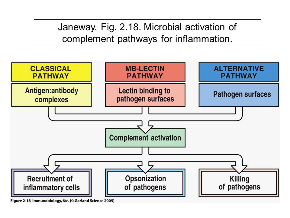 Janeway. Fig. 2.18. Microbial activation of complement pathways for inflammation.