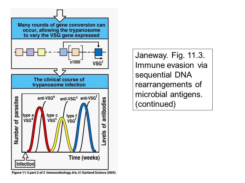 Janeway. Fig. 11.3. Immune evasion via sequential DNA rearrangements of microbial antigens. (continued)
