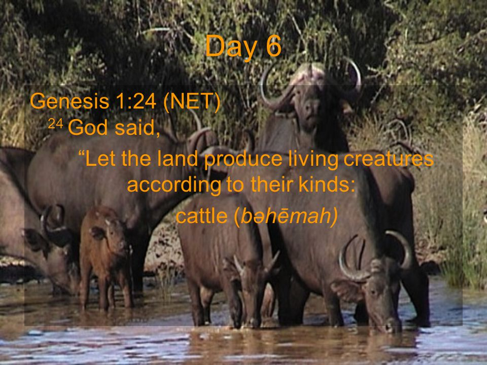 "Day 6 Genesis 1:24 (NET) 24 God said, ""Let the land produce living creatures according to their kinds: cattle (bəhēmah)"