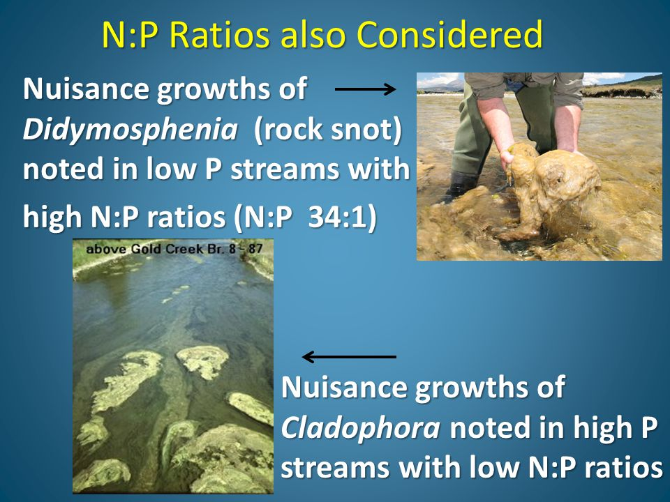 N:P Ratios also Considered Nuisance growths of Didymosphenia (rock snot) noted in low P streams with high N:P ratios (N:P 34:1) Nuisance growths of Cladophora noted in high P streams with low N:P ratios