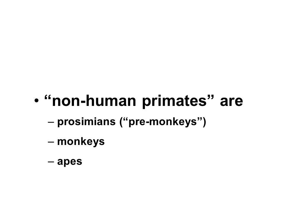 non-human primates are – prosimians ( pre-monkeys ) – monkeys – apes