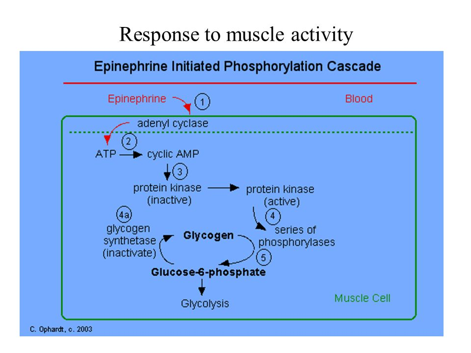 Response to muscle activity