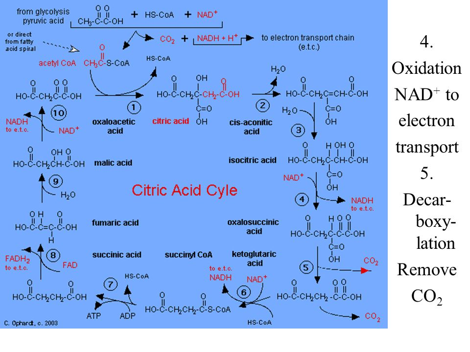 Citric Acid Cycle 6. Oxidation NAD + to electron transport Decar- boxy- lation Thiol synthesis