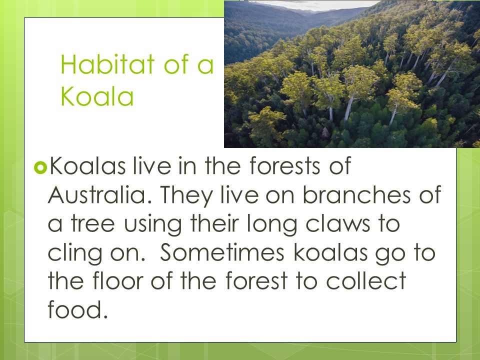 Habitat of a Koala  Koalas live in the forests of Australia. They live on branches of a tree using their long claws to cling on. Sometimes koalas go