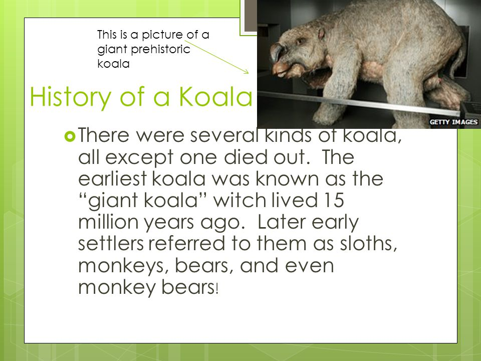 """History of a Koala  There were several kinds of koala, all except one died out. The earliest koala was known as the """"giant koala"""" witch lived 15 mill"""
