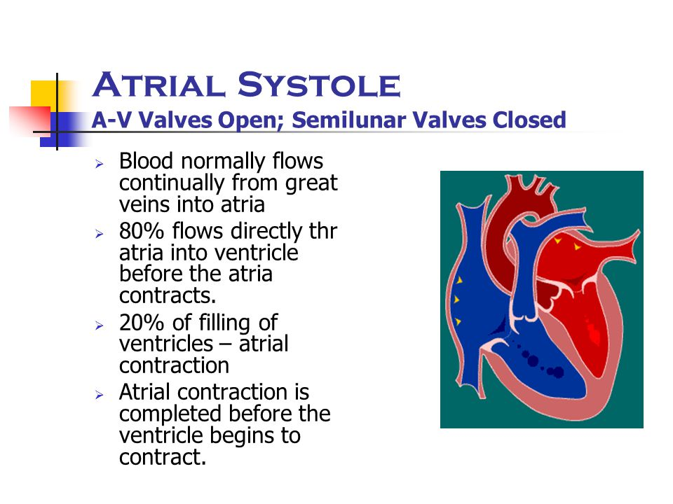 Atrial Systole A-V Valves Open; Semilunar Valves Closed  Blood normally flows continually from great veins into atria  80% flows directly thr atria