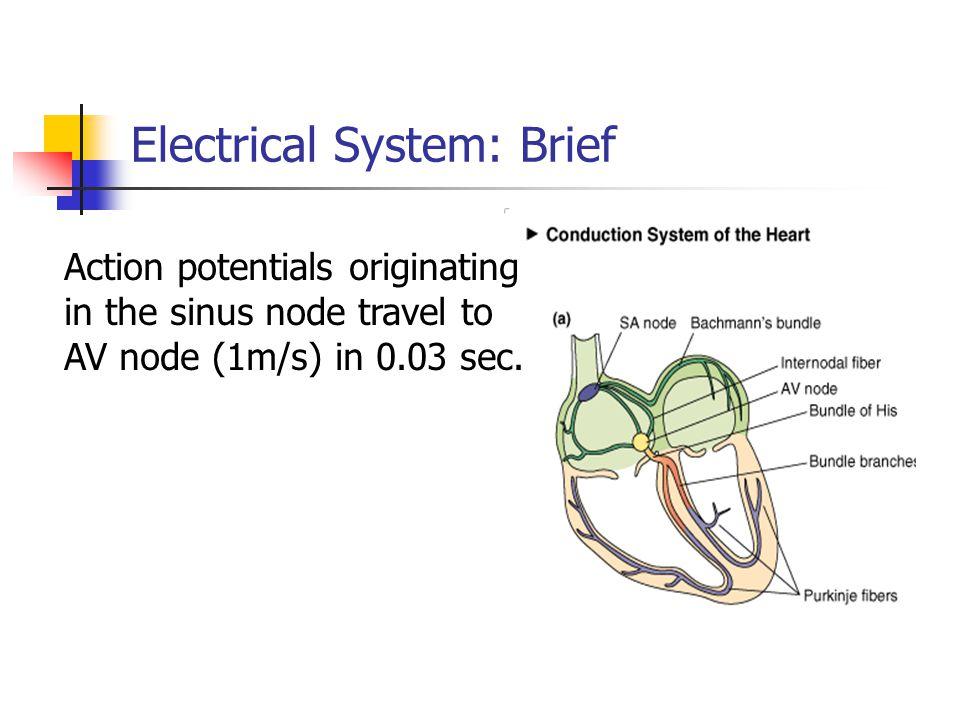 Electrical System: Brief Action potentials originating in the sinus node travel to AV node (1m/s) in 0.03 sec.