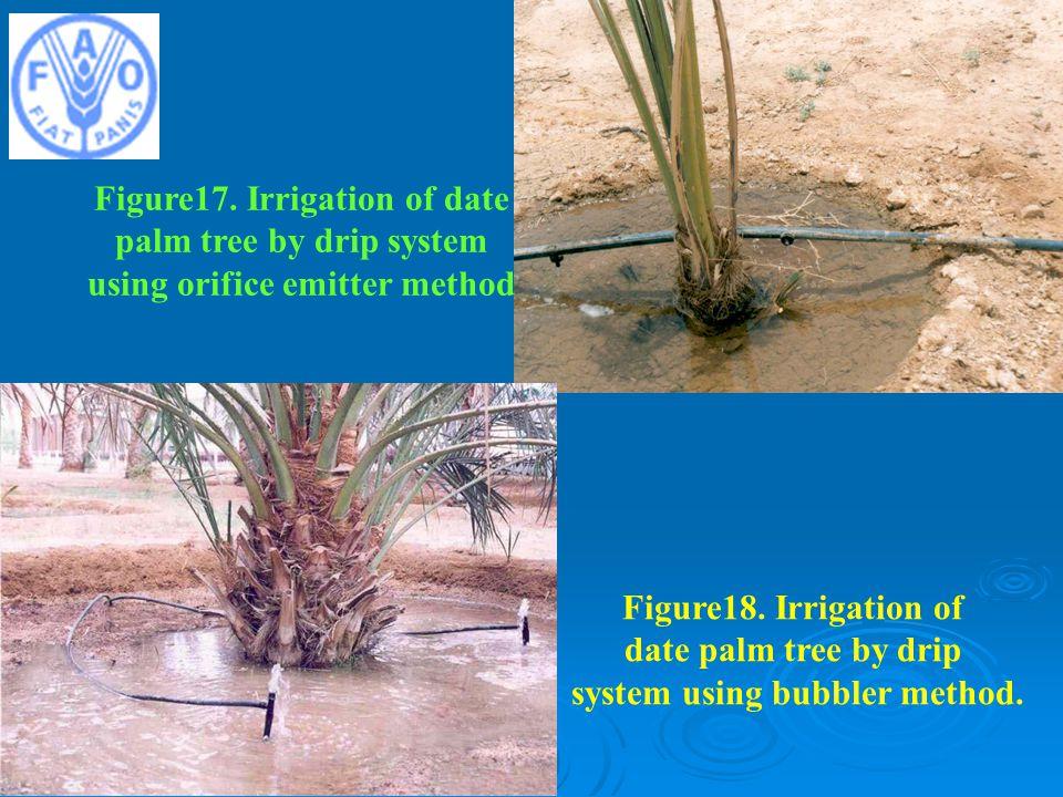 Figure17.Irrigation of date palm tree by drip system using orifice emitter method Figure18.